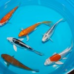 koi fish pond , 5 Stunning Koi Fish For Miami In pisces Category