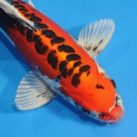 sanke koi , 7 Fabulous Koi Fish Sculpture In pisces Category