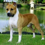 American Staffordshire Terrier puppies for sale , 7 Popular Dog Pictures For Sale In Dog Category