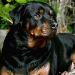 Big Dog , 5 Ultimate Free Pictures Of Dogs In Dog Category