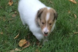 Border Collie Puppies , 6 Excellent Dogs For Adoption Pictures In Dog Category