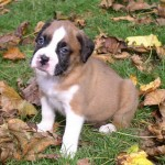 Boxer Dogs for Sale , 7 Popular Dog Pictures For Sale In Dog Category