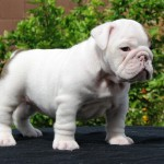 Bulldog puppies , 7 Popular Pictures Of Dogs For Sale In Dog Category