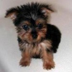Cheap Yorkie Puppies , 7 Popular Dogs For Sale Pictures In Dog Category