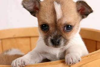 Chihuahua Puppies , 7 Popular Dogs For Sale Pictures In Dog Category