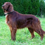 Description Can Setter dog , 6 Lovely Free Dog Pictures In Dog Category