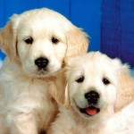 Dog Wallpapers Backgrounds , 7 Stunning Pictures Of Dogs And Puppys In Dog Category
