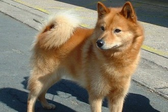Finnish Spitz Dog Breed , 7 Awesome Dogs Pictures And Breeds In Dog Category