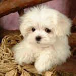 Fluffy Maltese Puppy Dogs , 7 Stunning Pictures Of Dogs And Puppys In Dog Category