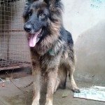 German Shepherd , 4 Awesome Dog Picture Contest In Dog Category