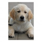 Golden Retriever puppy dog , 6 Awesome Dog Pictures To Print In Dog Category