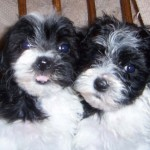 Havanese dog for sale , 7 Popular Dog Pictures For Sale In Dog Category