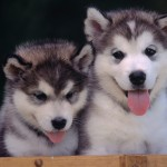 Husky Dogs , 6 Stunning Pictures Of Dogs In Dog Category