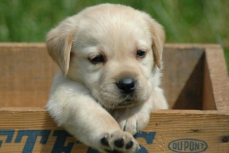 Labrador Retriever Puppies , 6 Awesome Dog Pictures To Print In Dog Category