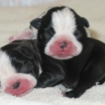 PUPPIES FOR SALE , 7 Popular Dogs For Sale Pictures In Dog Category