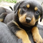 Rottweiler Puppies , 7 Popular Dogs For Sale Pictures In Dog Category