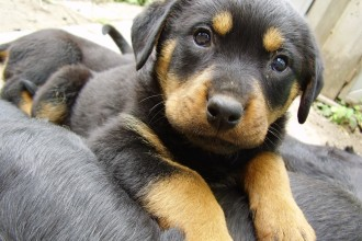 Rottweiler Puppies For Sale now in Orthoptera