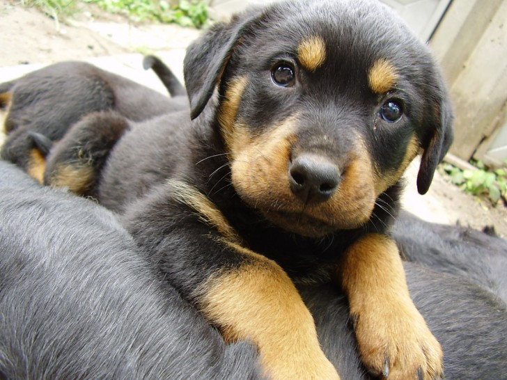Dog , 7 Popular Dog Pictures For Sale : Rottweiler Puppies For Sale Now