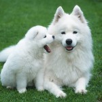 Samoyed , 7 Awesome Dogs Pictures And Breeds In Dog Category