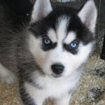 Siberian Husky , 7 Popular Pictures Of Dogs For Sale In Dog Category