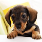 Small Dog Breed , 7 Awesome Dogs Pictures And Breeds In Dog Category
