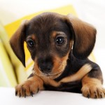 Small dog breeds , 5 Hottest Small Dog Breeds And Pictures In Dog Category