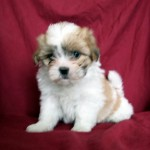Teddy Bear puppies , 7 Popular Pictures Of Dogs For Sale In Dog Category