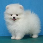 White Pomeranian , 5 Ultimate Free Pictures Of Dogs In Dog Category
