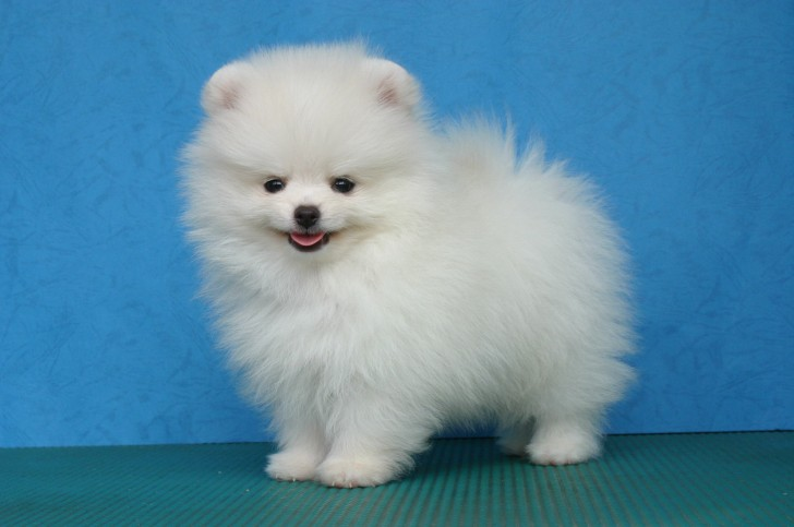 Dog , 5 Ultimate Free Pictures Of Dogs : White Pomeranian