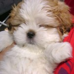 breeds small dogs , 6 Awesome Tiny Dog Breeds List With Pictures In Dog Category