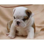bulldog puppy dog , 5 Fabulous Cute Dog Picture Frames In Dog Category