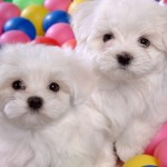 cute images cutest puppy contest , 5 Cute Dog Pictures Contest In Dog Category