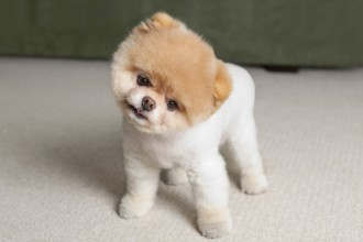 Cute Small Dog Breeds , 5 Hottest Small Dog Breeds And Pictures In Dog Category