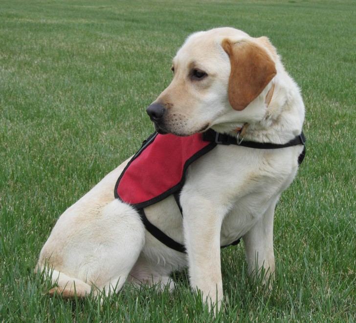 Dog , 6 Superb Pictures Of Service Dogs :  Dog Harness