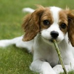 expensive dog breeds , 7 Amazing Dog Breeds With Pictures In Dog Category