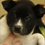 labrador retriever , 7 Superb Pictures Of Dogs For Adoption In Dog Category