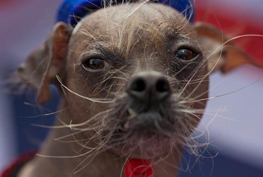 Dog , 6 Popular Dog Picture Contest 2013 :  Miniature Schnauzer