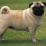 pug dog , 7 Top Picture On Dog In Dog Category