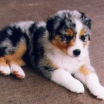 shepherd puppies , 7 Popular Dog Pictures For Sale In Dog Category
