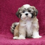 shih tzu puppies , 7 Popular Pictures Of Dogs For Sale In Dog Category