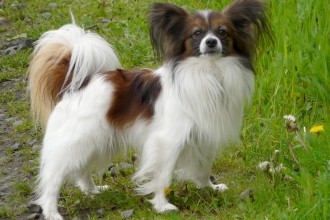 Small Dog Breeds , 7 Awesome Dogs Pictures And Breeds In Dog Category