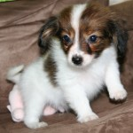 small dog breeds list , 6 Awesome Tiny Dog Breeds List With Pictures In Dog Category