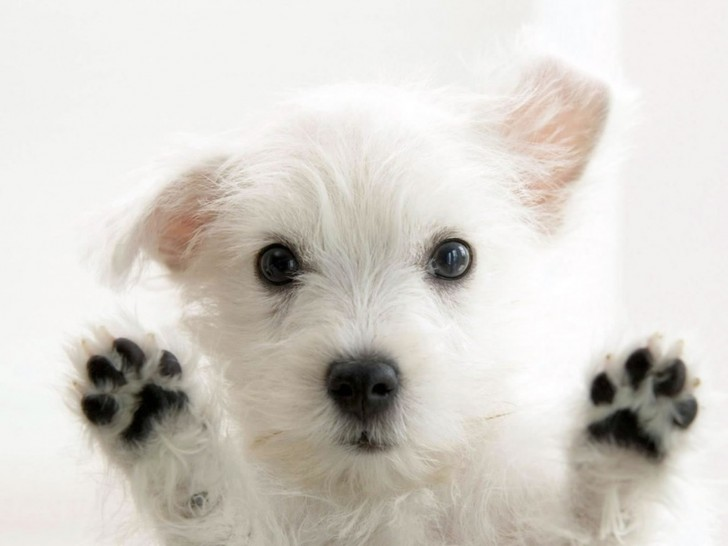 Dog , 6 Stunning Pictures Of Dogs :  Toy Dog Breeds